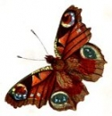 Butterfly_Image